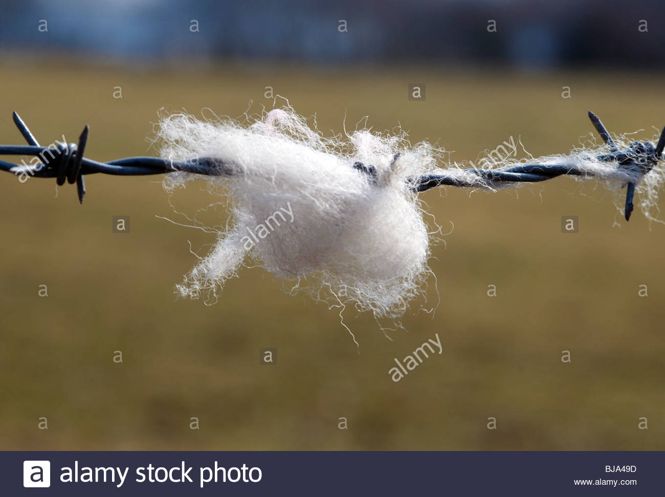tufts of sheeps wool snagged on a metal barbed wire fence - Stock Image
