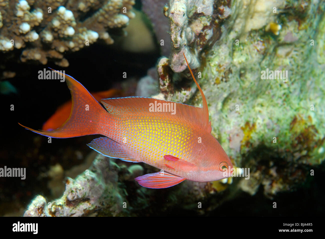 Scalefin anthias over a reef in the Red Sea. - Stock Image
