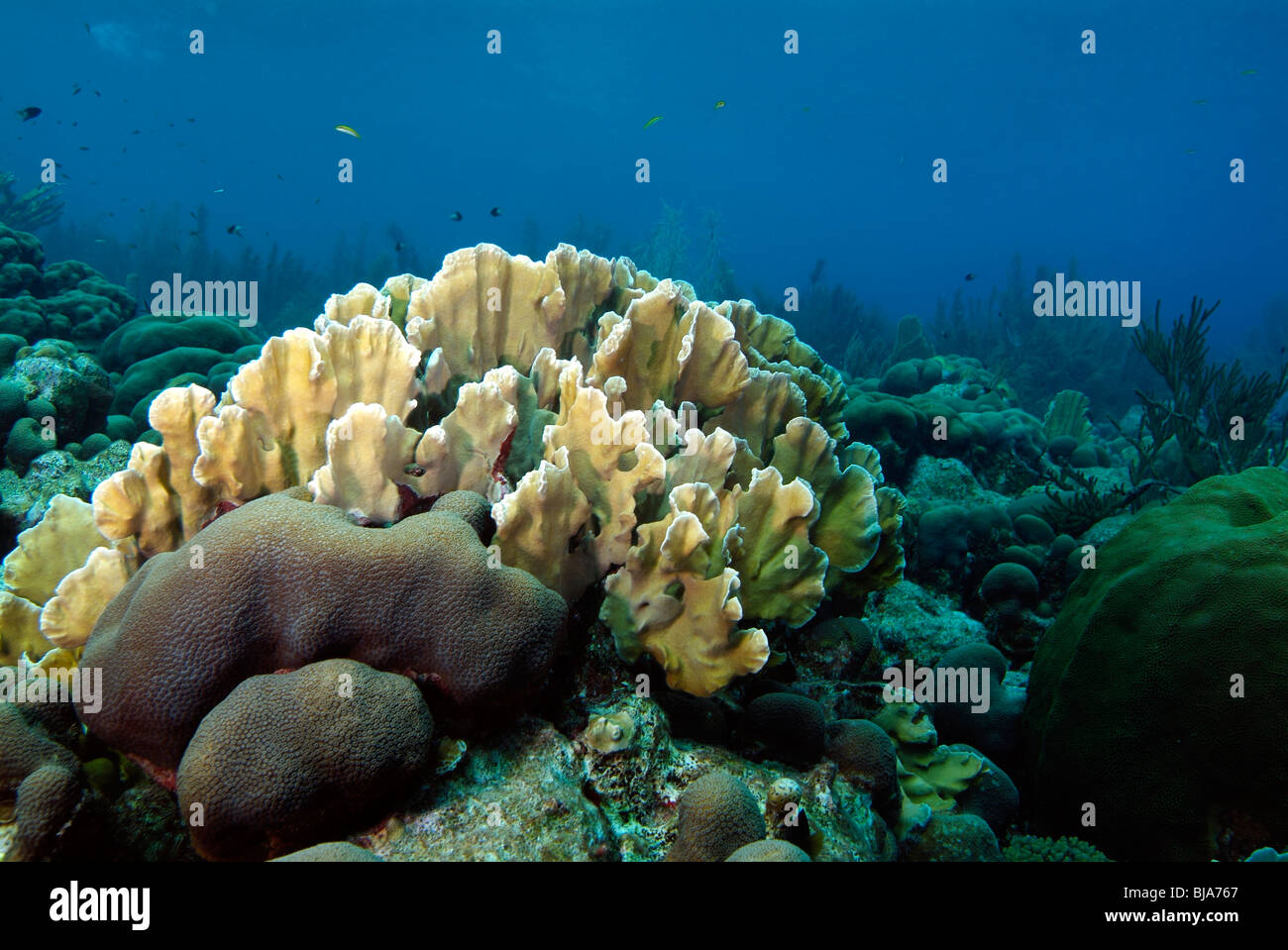 Fire coral in Bonaire. - Stock Image