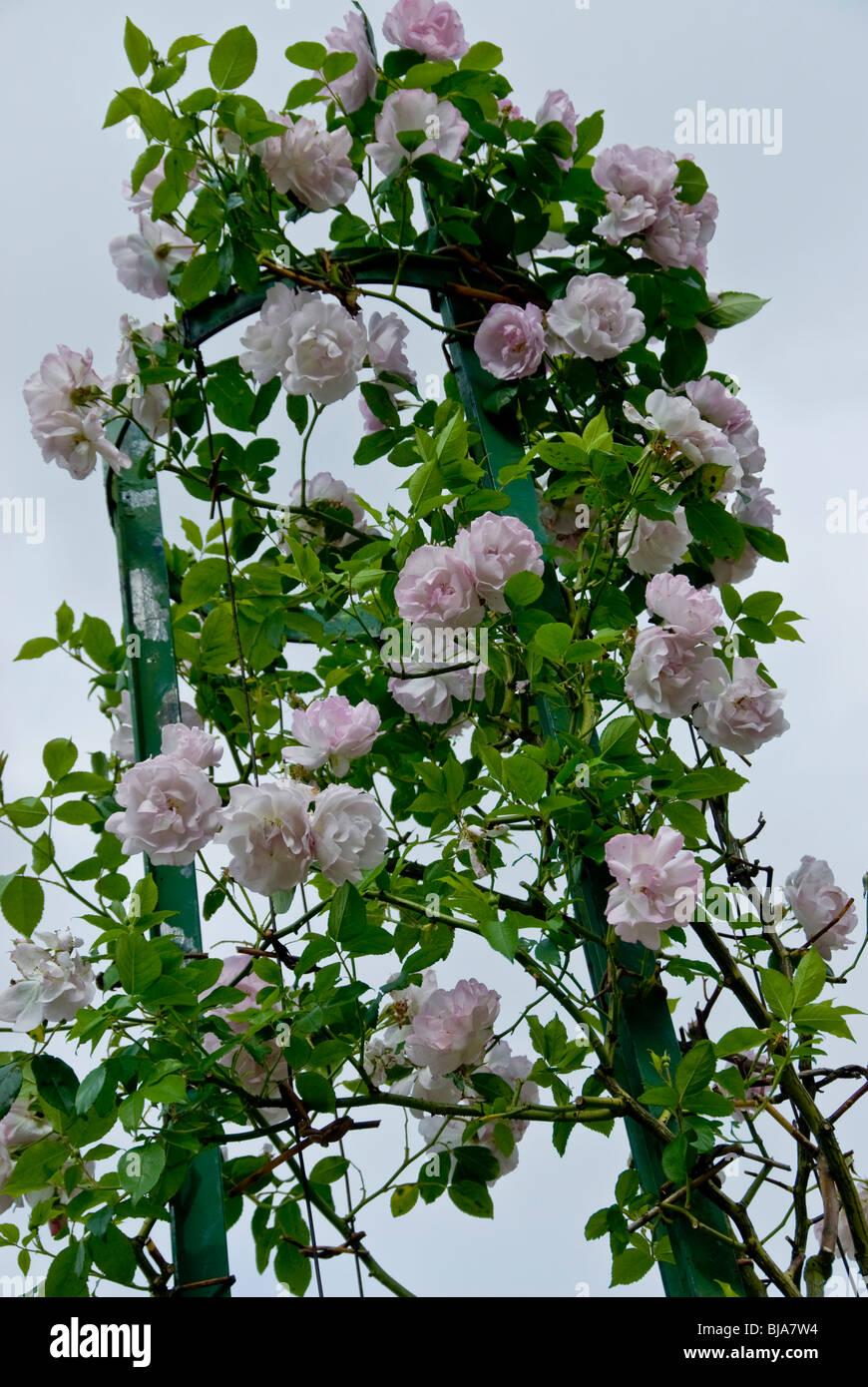 Paris, France, Public Parks, Close up Flowers Bush, 'Bagatelle Gardens' in Boulogne Park - Stock Image
