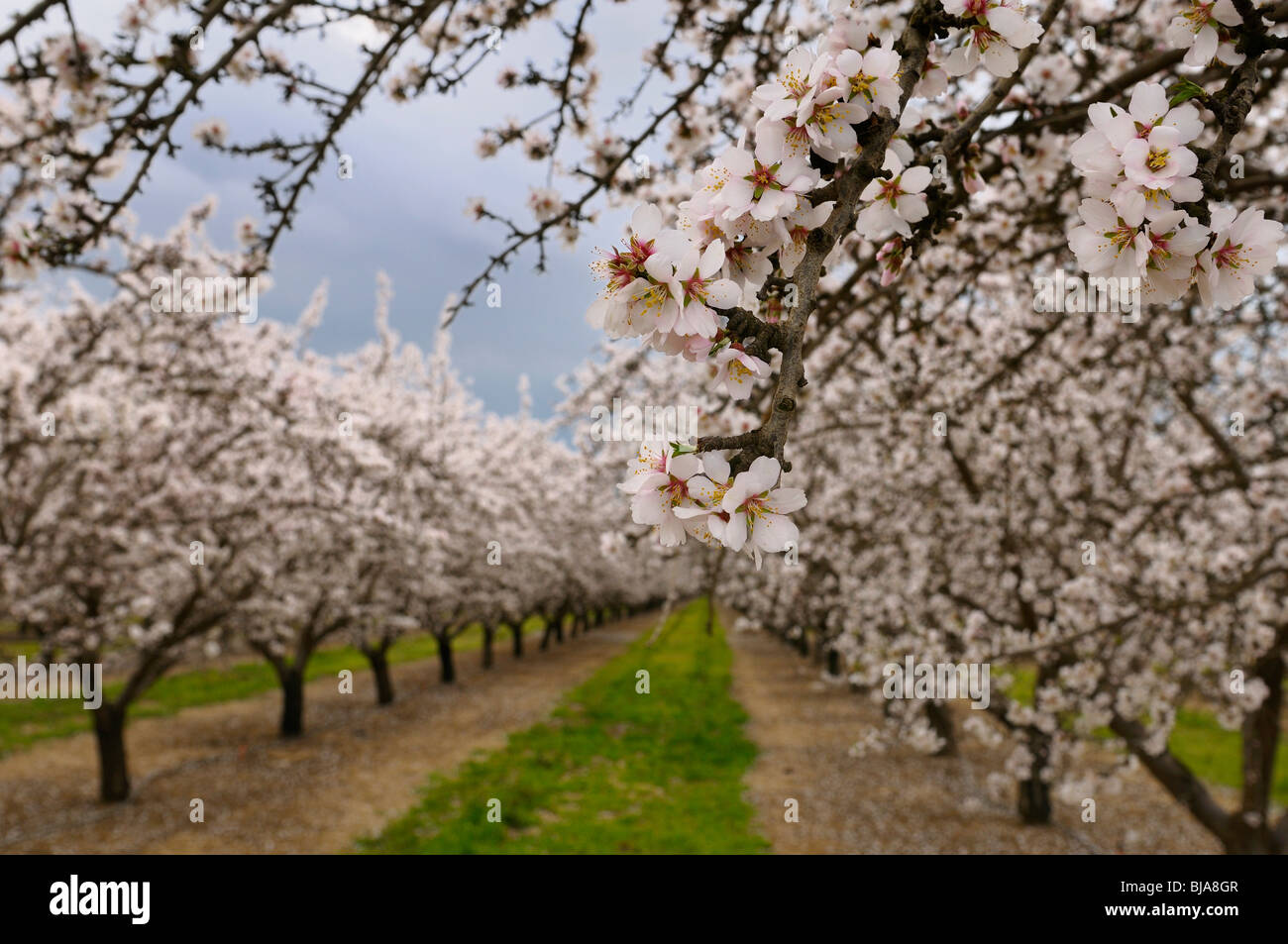 Close up of blossoms on a flowering almond tree in a California USA orchard with rows of trees in winter - Stock Image