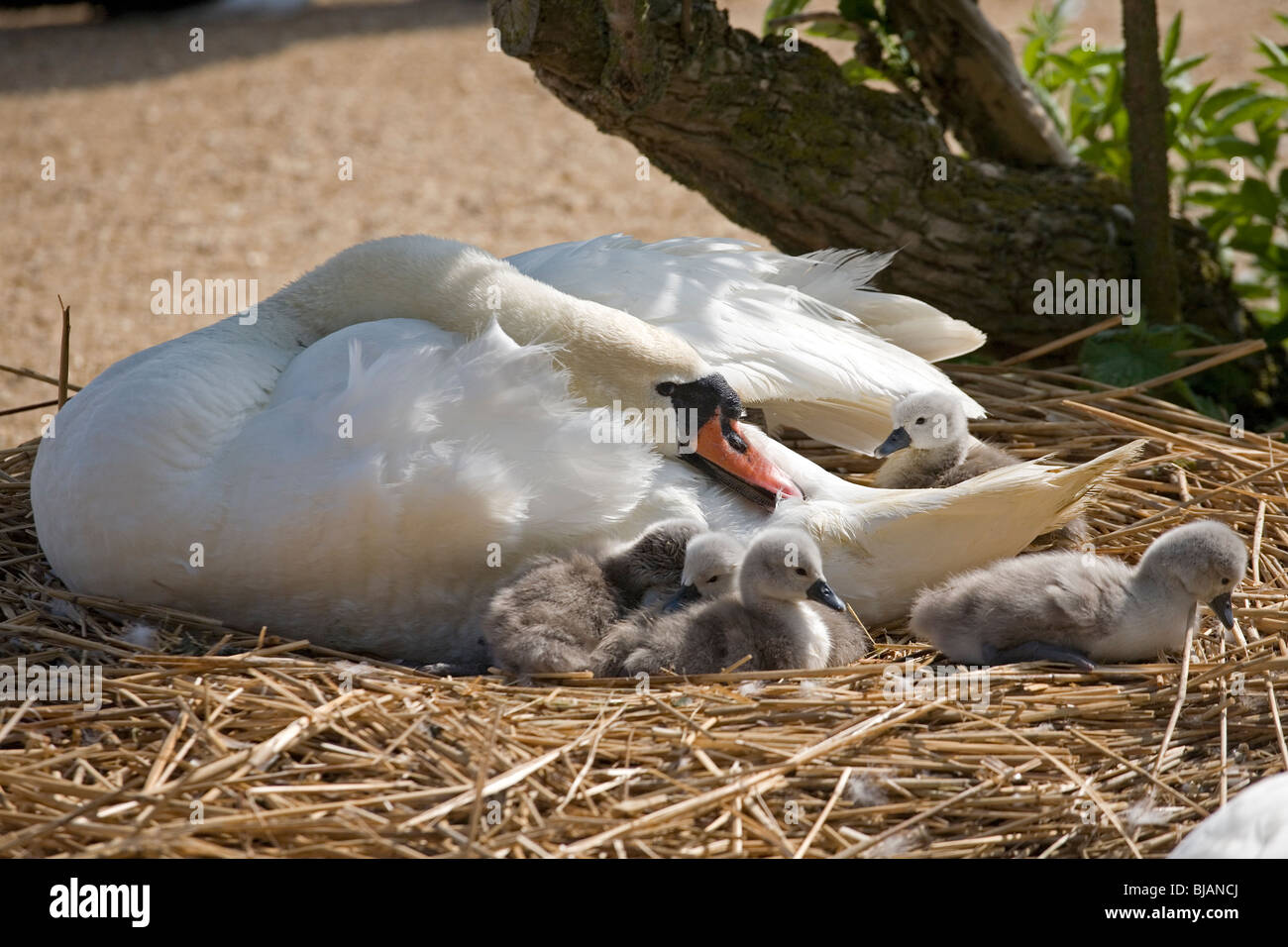 Mute Swan and Cygnets (Cygnus olor) at Abbotsbury swannery Stock Photo
