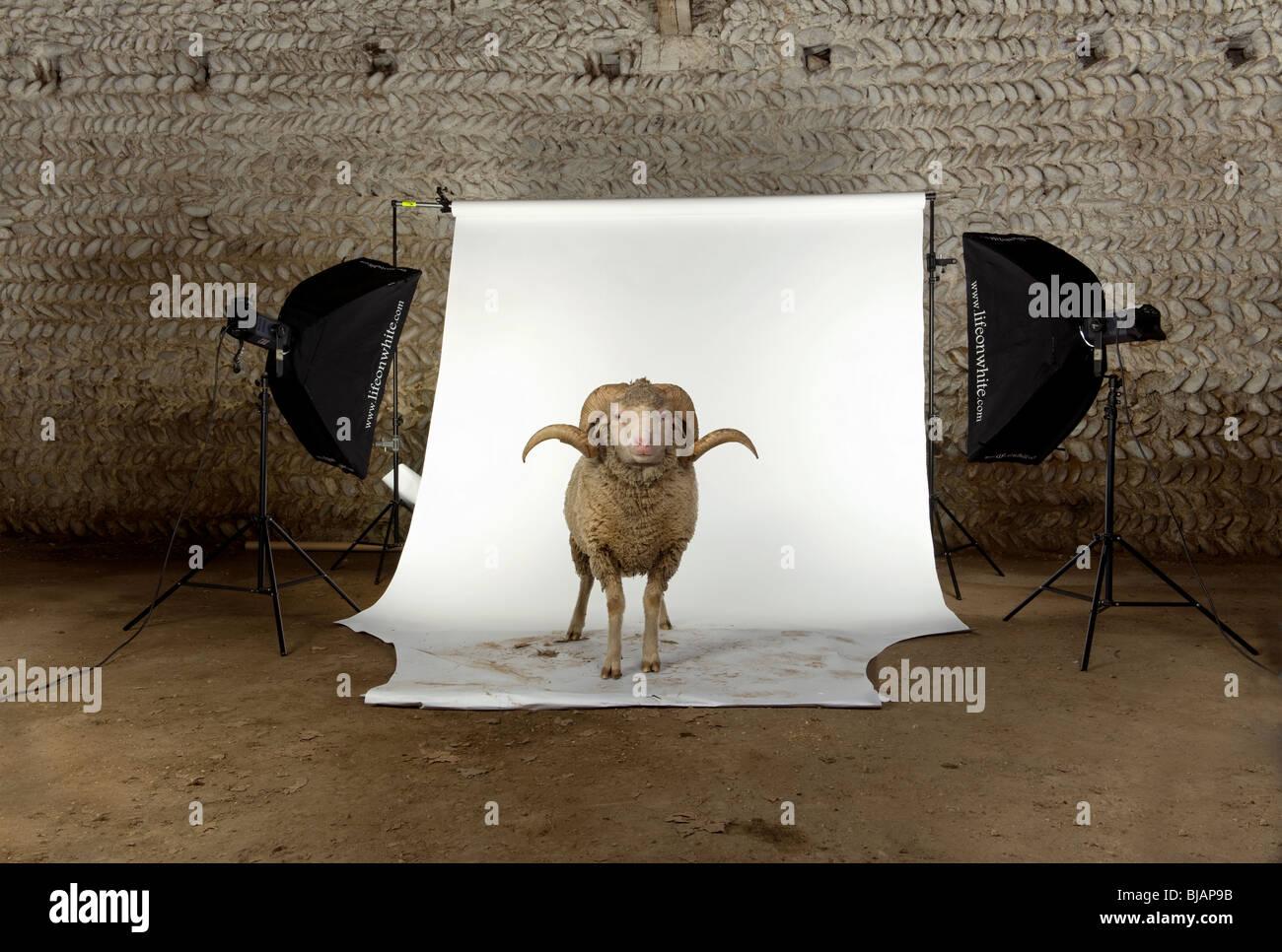 Arles Merino sheep, ram, 3 years old, standing in photo shoot studio - Stock Image