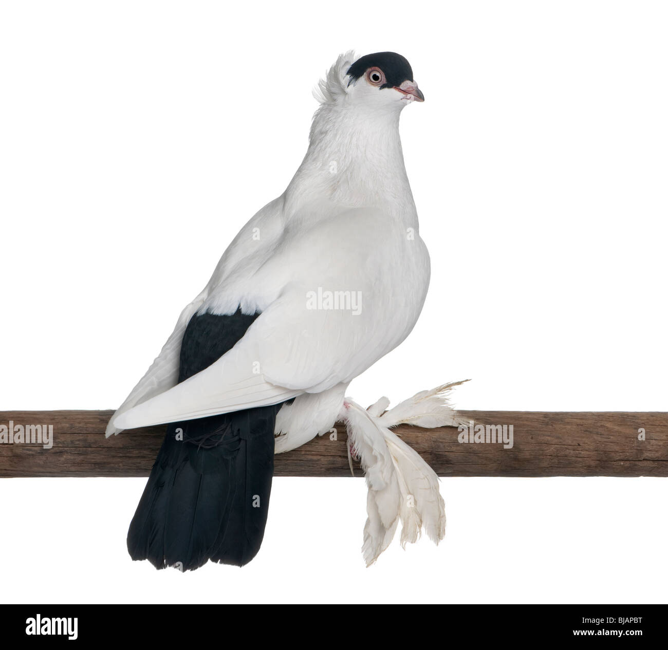Polish helmet or Kryska Polska, a breed of fancy pigeon, perched on stick in front of white background - Stock Image