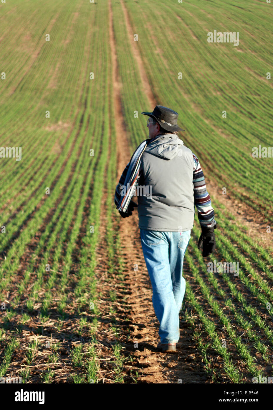 Senior man walking through a green field in Hampshire UK on a cold day. The planted crop is disappearing off into Stock Photo
