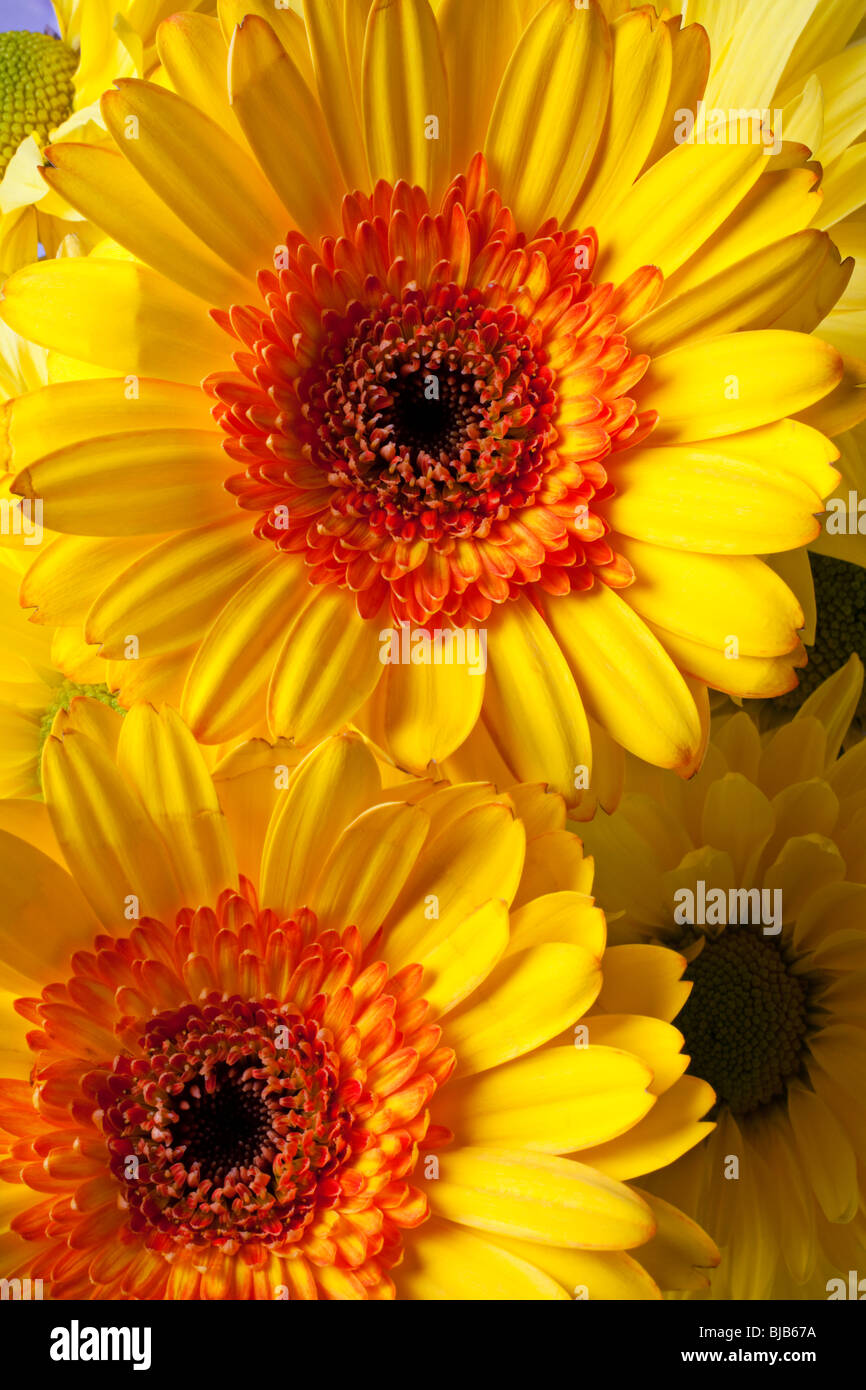 Daisy mum flower yellow orange colorful stock photos daisy mum yellow and orange mums stock image mightylinksfo