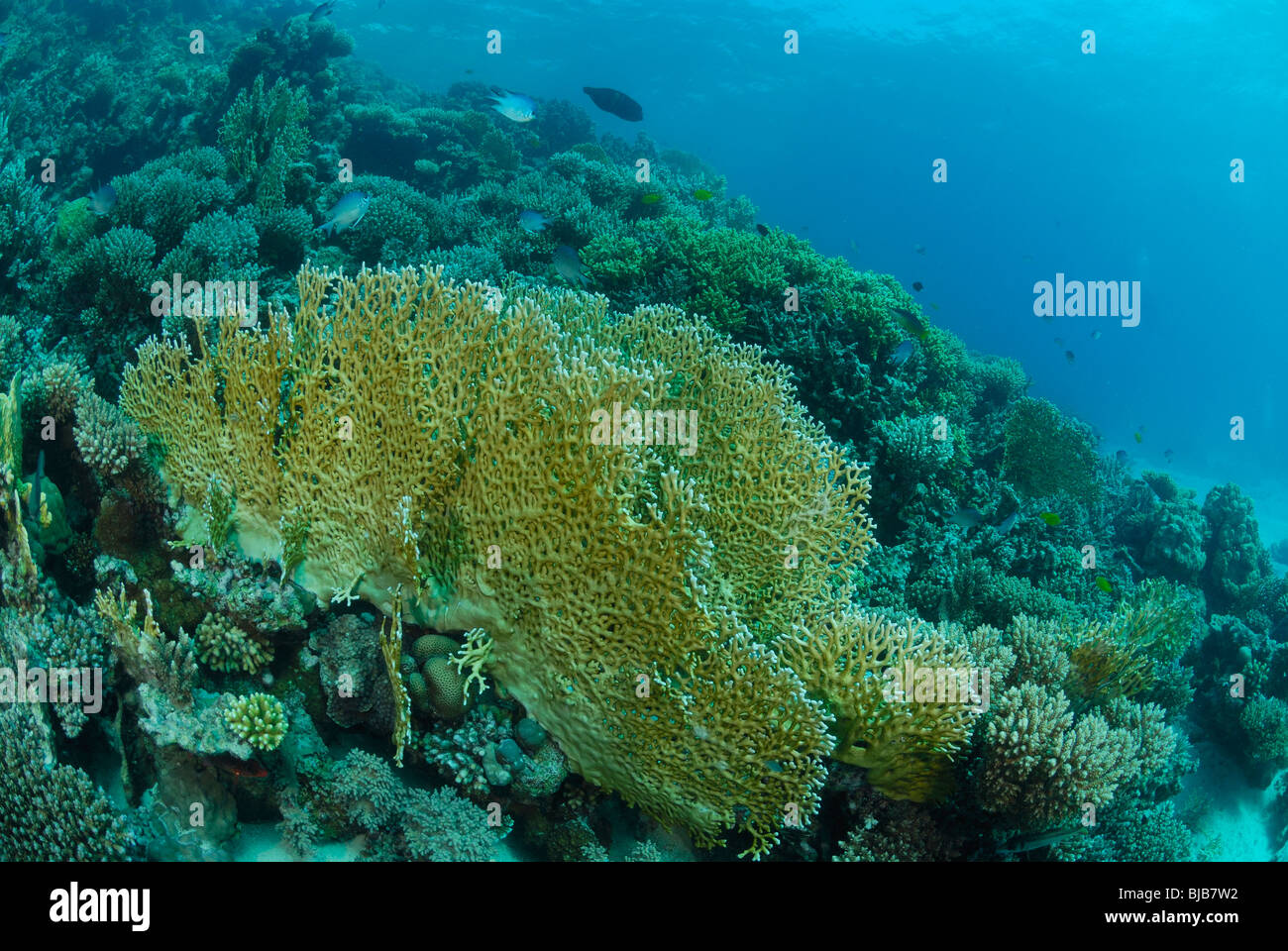 Fire coral in the Red Sea, off Hurghada, Egypt. - Stock Image