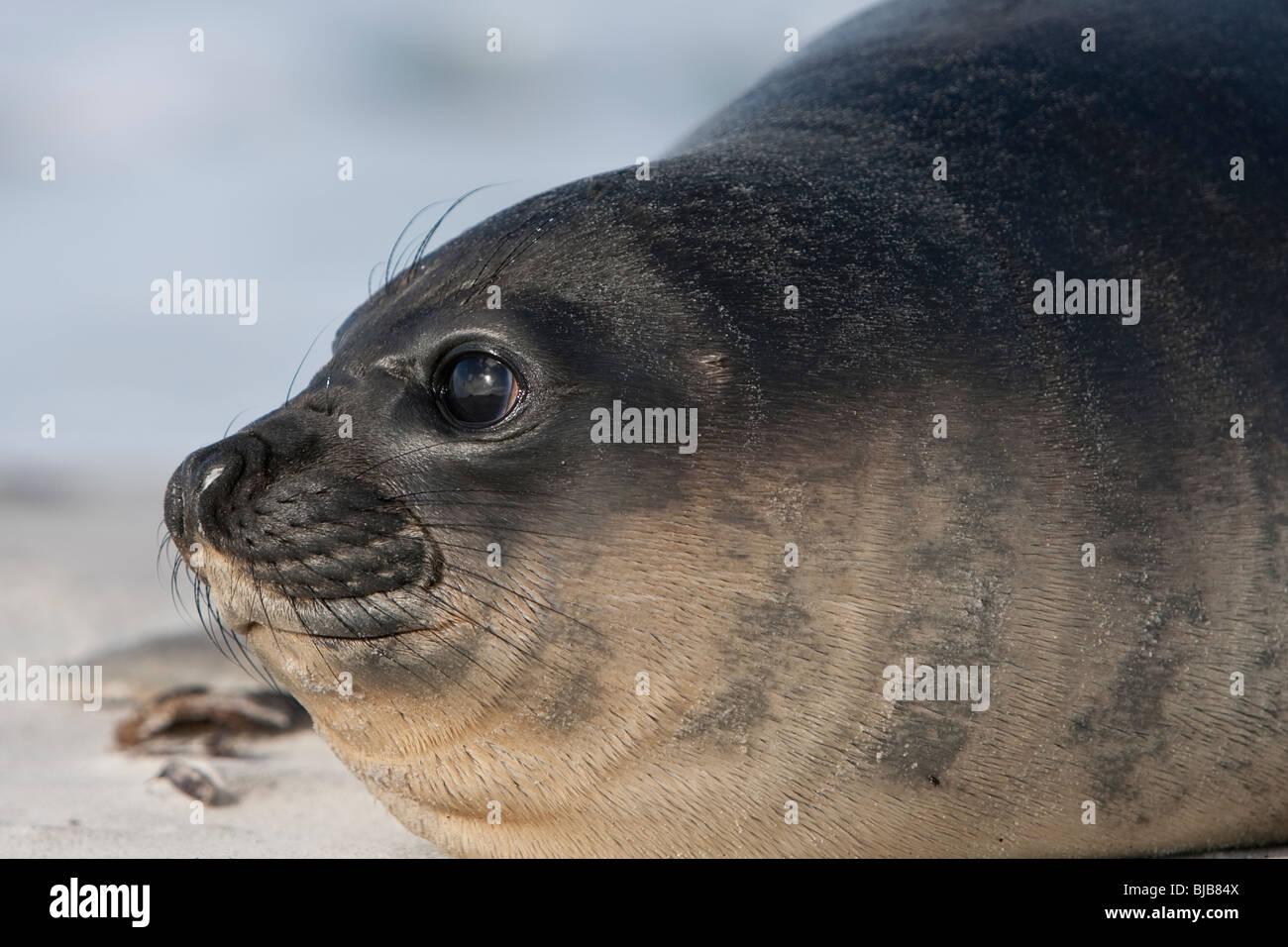 Southern Elephant Seal Mirounga leonina Südlicher See-Elefant Sea Lion Island Falkland Islands pup Stock Photo