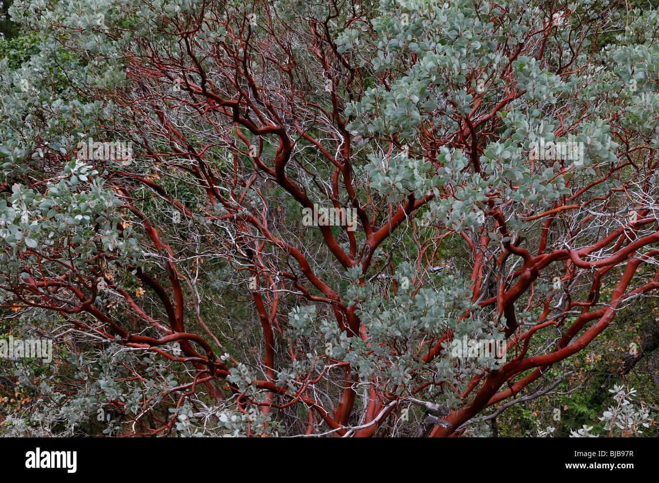 Red bark of the evergreen Manzanita tree in Yosemite National Park in winter - Stock Image