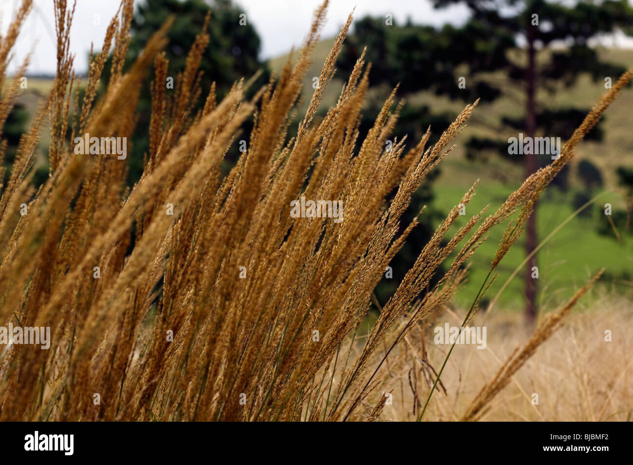 Stalks of golden grass swaying in a breeze. Midlands, Kwazulu Natal, South Africa. - Stock Image