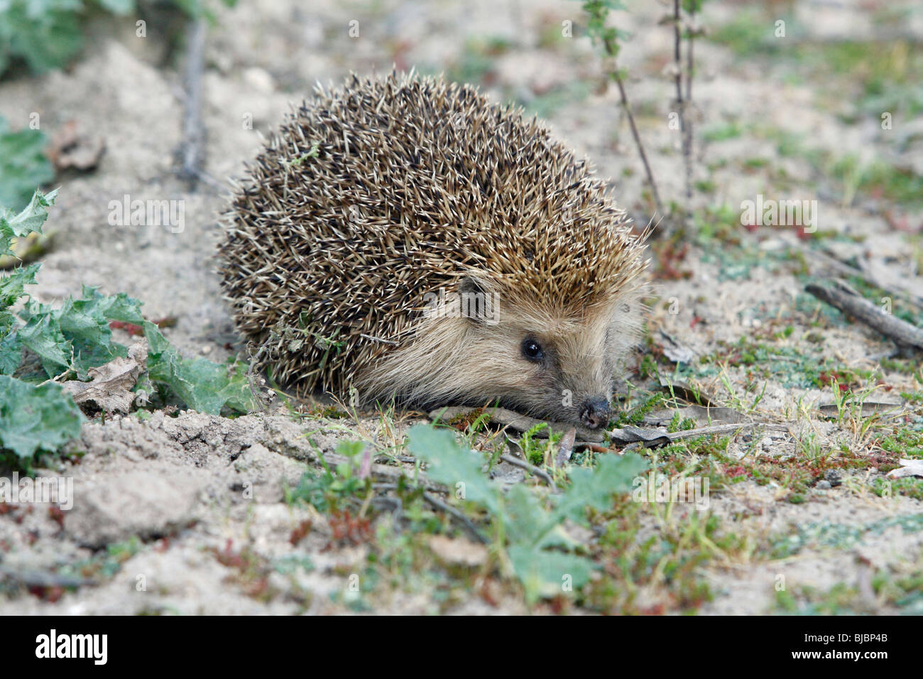 European Hedgehog (Erinaceus europaeus) blonde coloured phase animal, Portugal - Stock Image