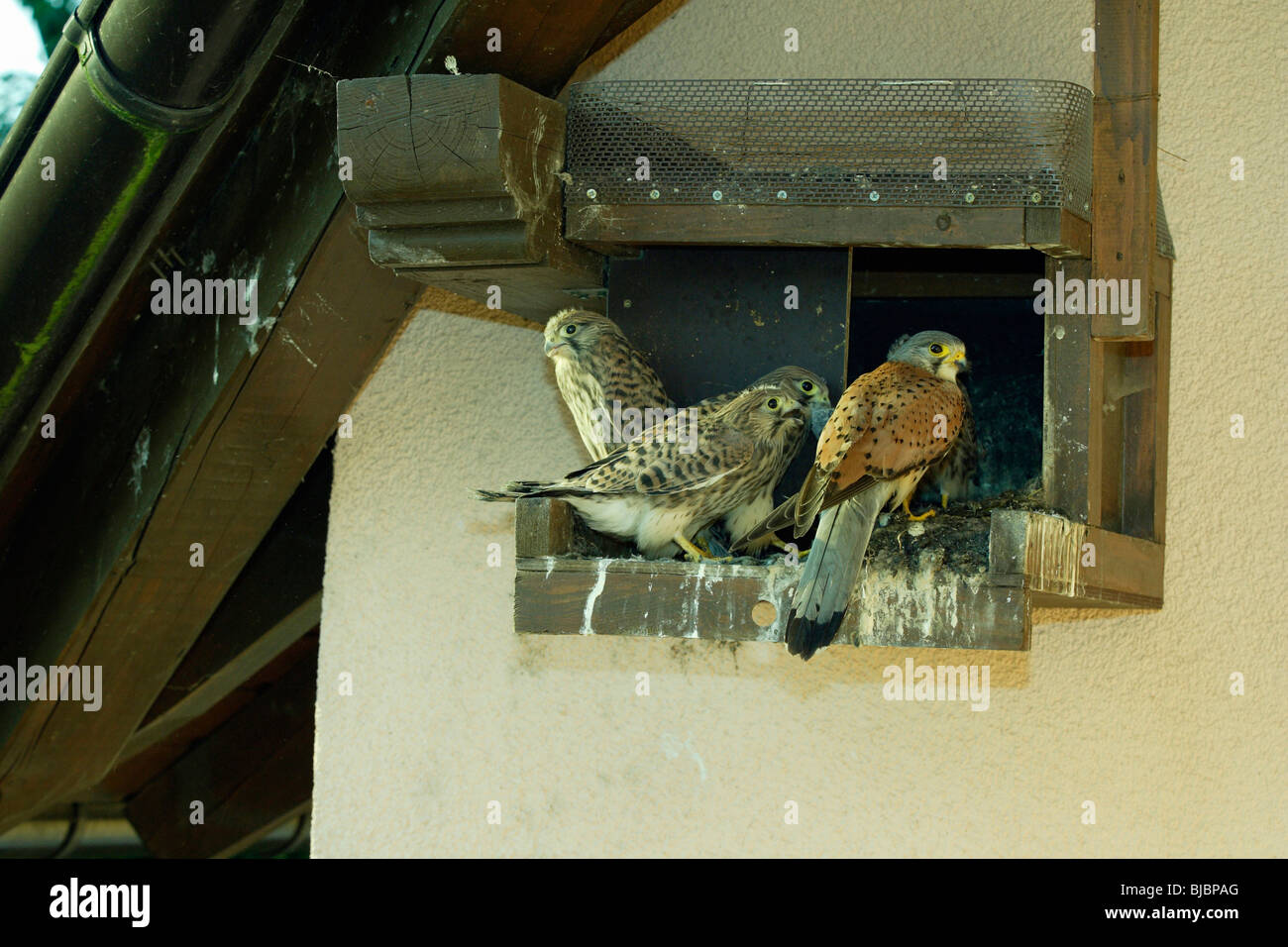 Kestrel (Falco tinnunculus), three fledglings with male at nest box, Germany, - Stock Image