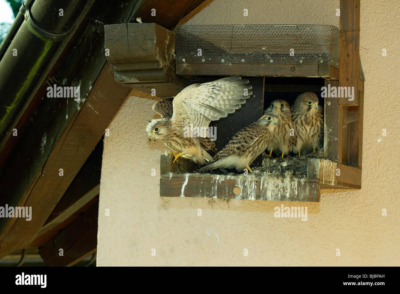 Kestrel (Falco tinnunculus), four fledglings at nest box, Germany, - Stock Image