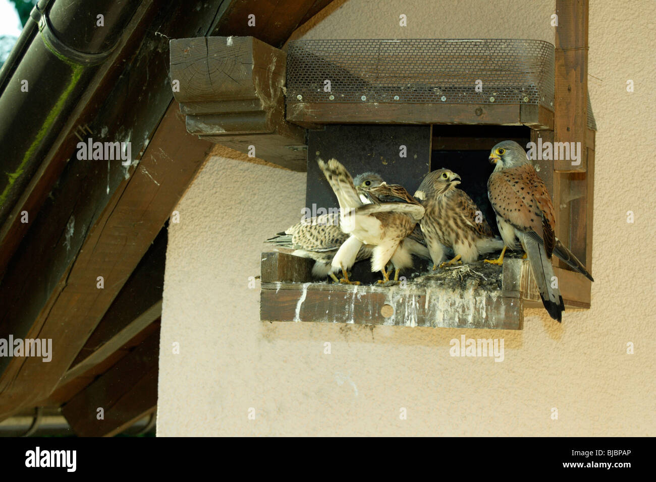 Kestrel (Falco tinnunculus), four fledglings with male, at nest box, Germany, - Stock Image