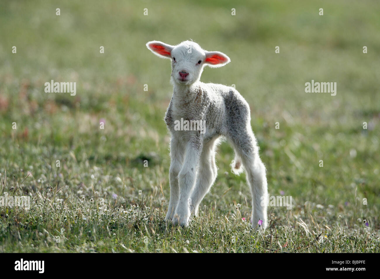 Merino Lamb - Alentejo, Portugal - Stock Image
