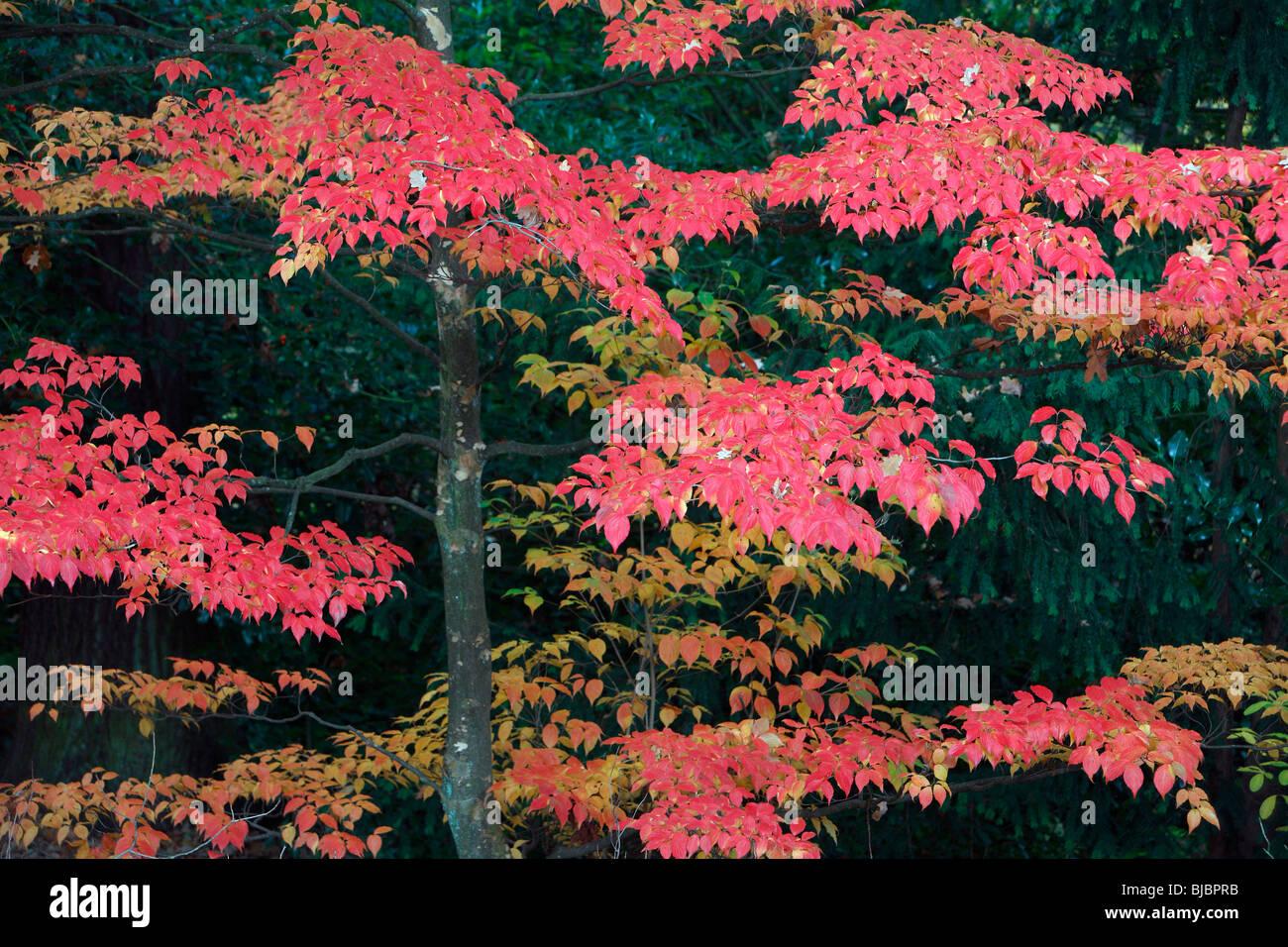 Table Dogwood (Cornus Controversa), Tree In Park Showing Autumn Colour,  Germany, Origin Japan, China, Himalaya