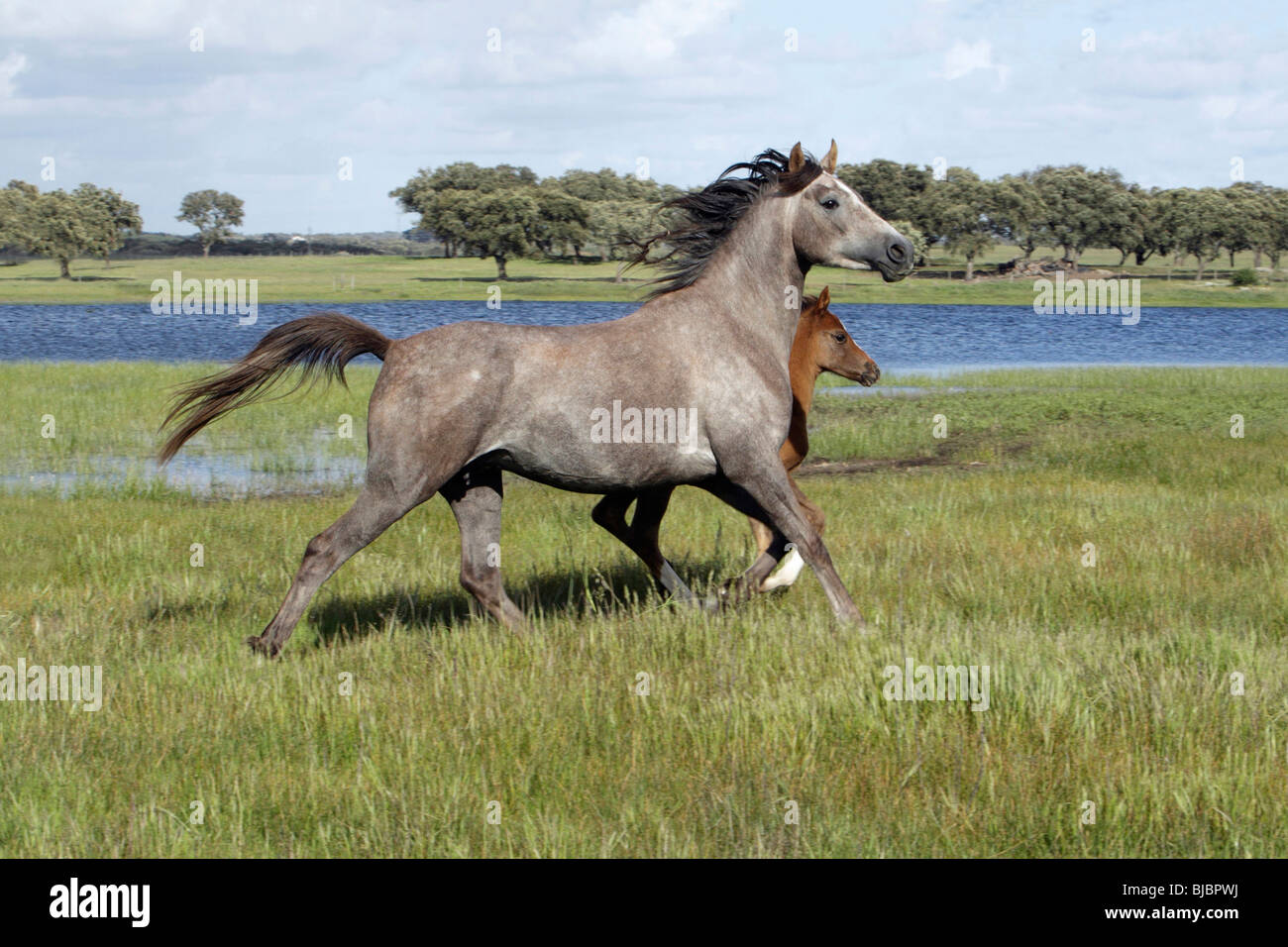 Arabic horses, mare with foal, trotting across meadow, Alentejo, Portugal - Stock Image