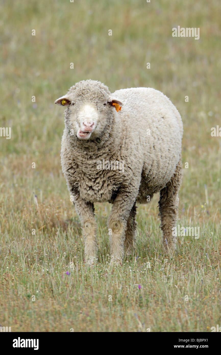 Merino Sheep (Ovus ammon aries), on meadow, Portugal - Stock Image