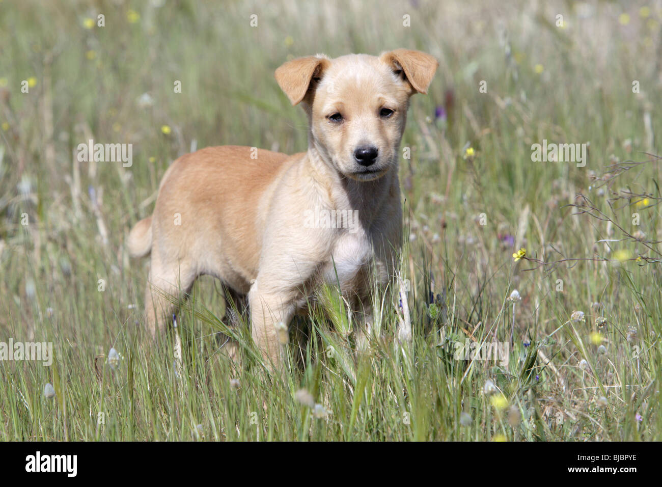Mongrel Dog, puppy, Portugal - Stock Image