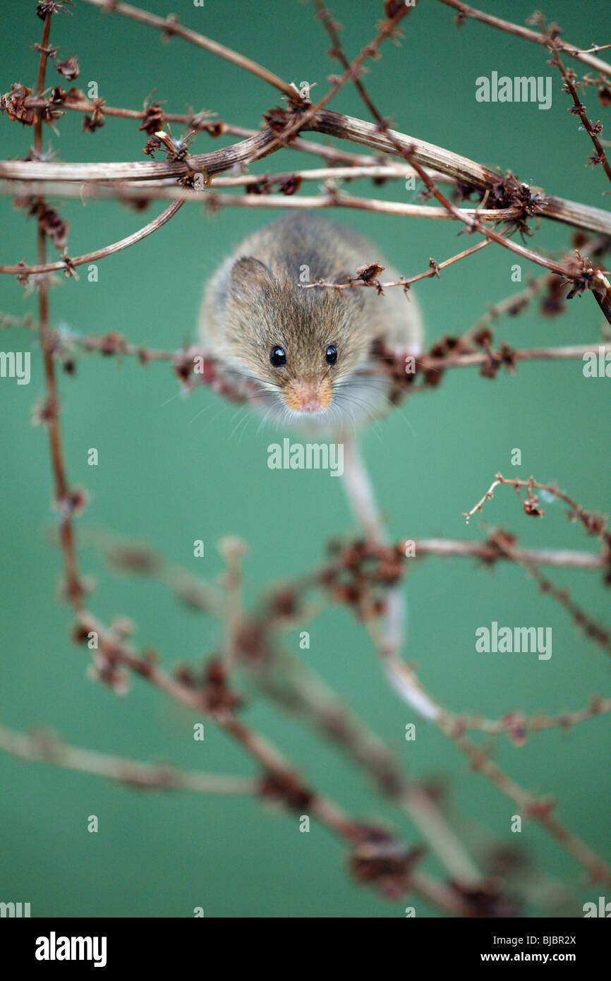 Harvest Mouse (Micromys minutus), climbing around between dead plant stalks - Stock Image