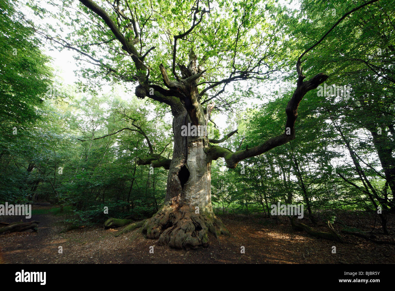 Oak Tree (Quercus robur), ancient tree in summer, Sababurg Ancient Forest NP, N. Hessen, Germany - Stock Image