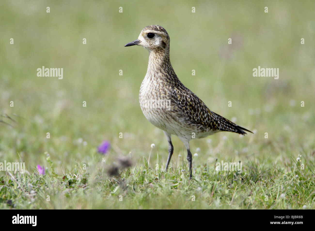 Golden Plover (Pluvialis apricaria), resting on meadow during spring migration, Portugal - Stock Image