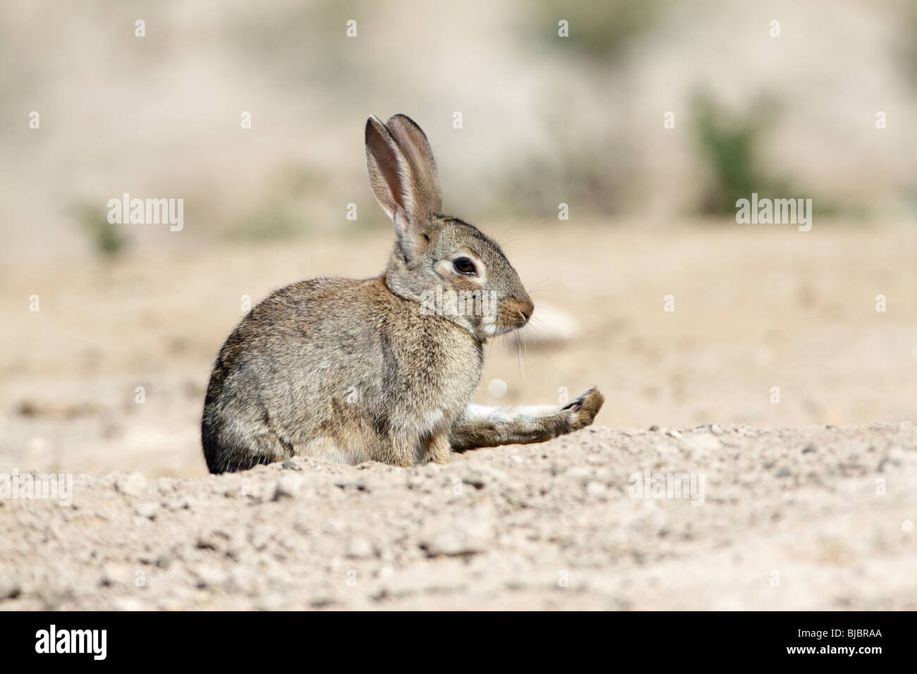 Wild Rabbit (Oryctolagus cuniculus), stretching its hind leg, Alentejo, Portugal - Stock Image