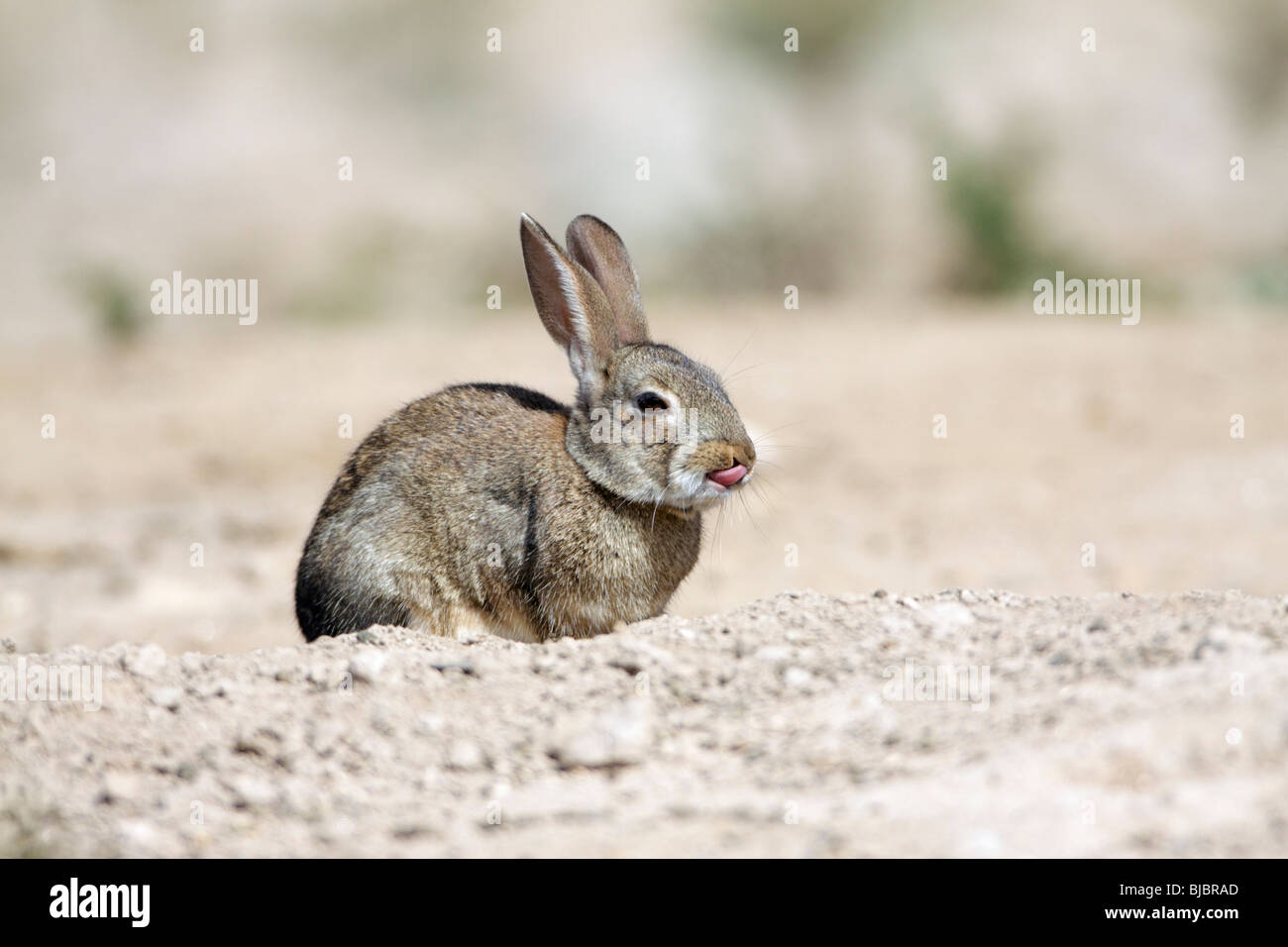 Wild Rabbit (Oryctolagus cuniculus), showing its tongue, Alentejo, Portugal - Stock Image