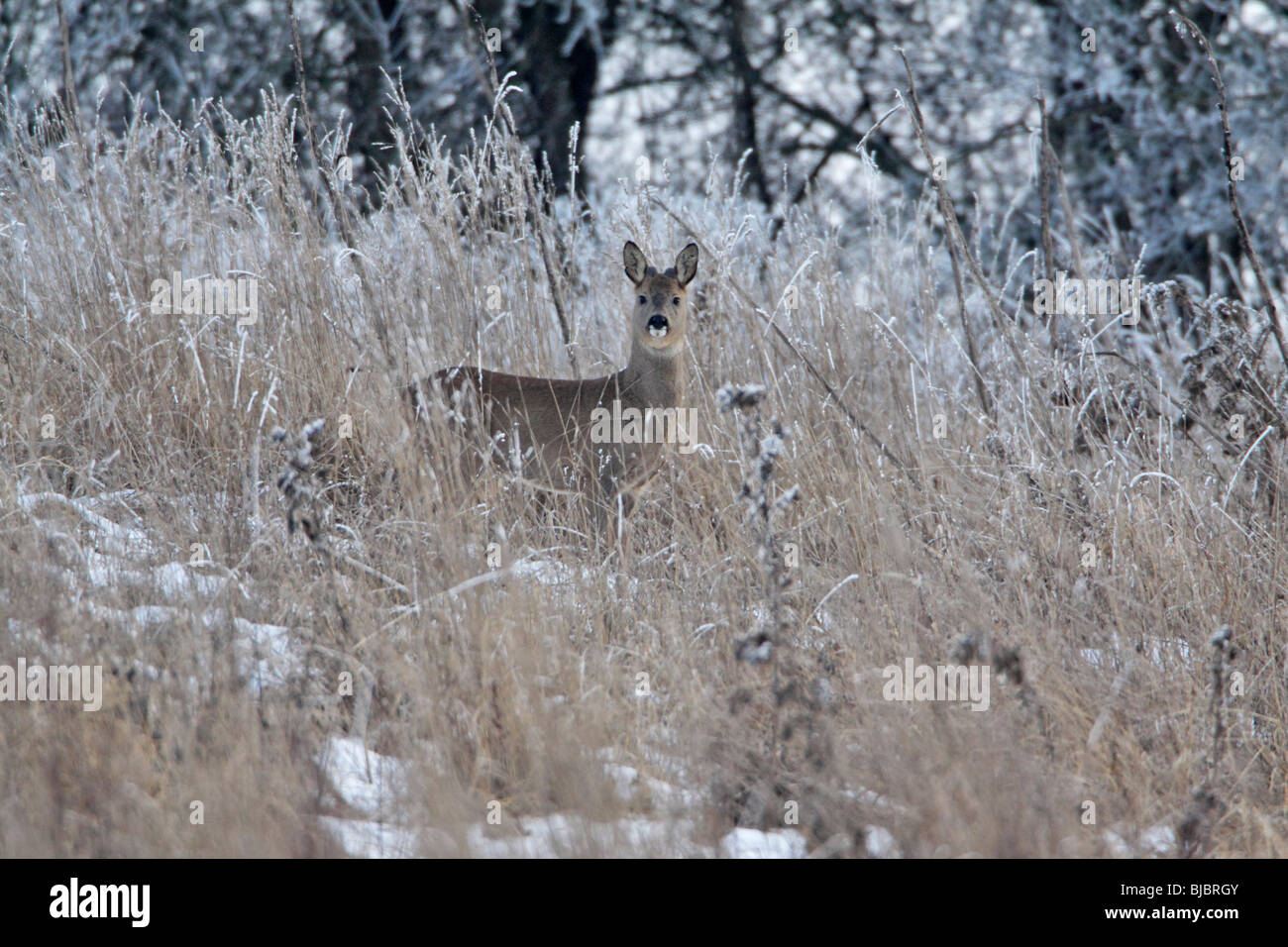 Roe Deer Buck (Capreolus capreolus) - in frost covered grass wilderness Stock Photo