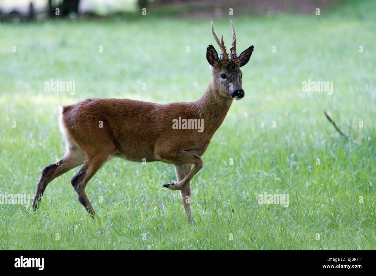 Roe Deer (Capreolus capreolus), Buck standing alert, Germany - Stock Image