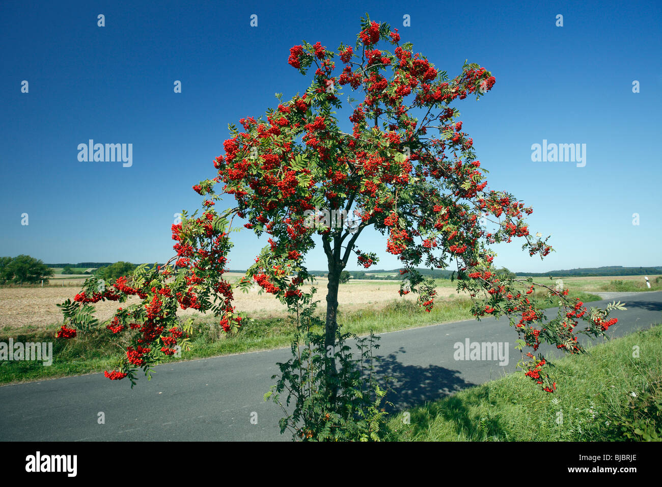 Mountain Ash / Rowan Tree (Sorbus aucuparia), with ripened berries, Germany - Stock Image