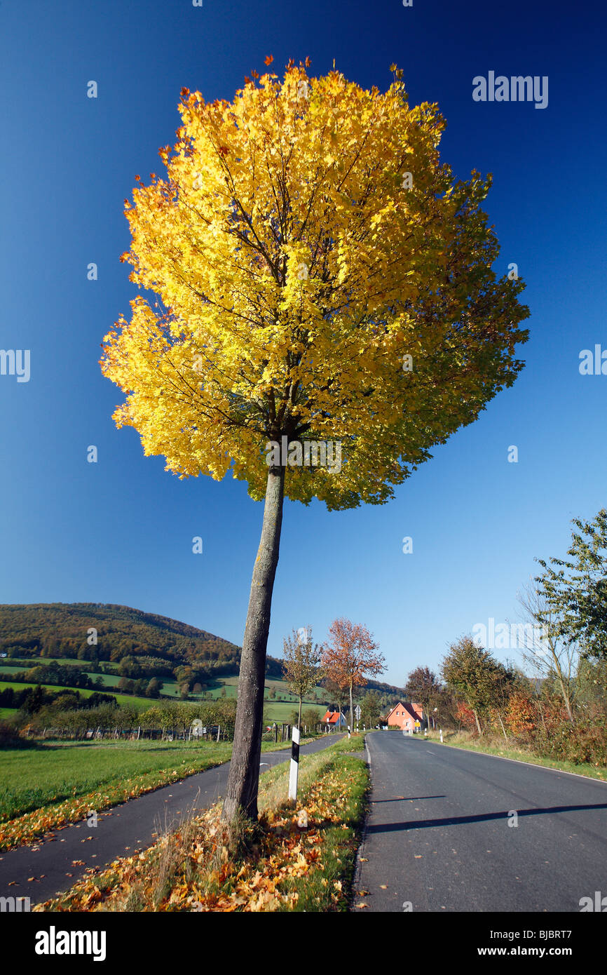 Norway Maple (Acer platanoides), showing autumn colour, Germany - Stock Image