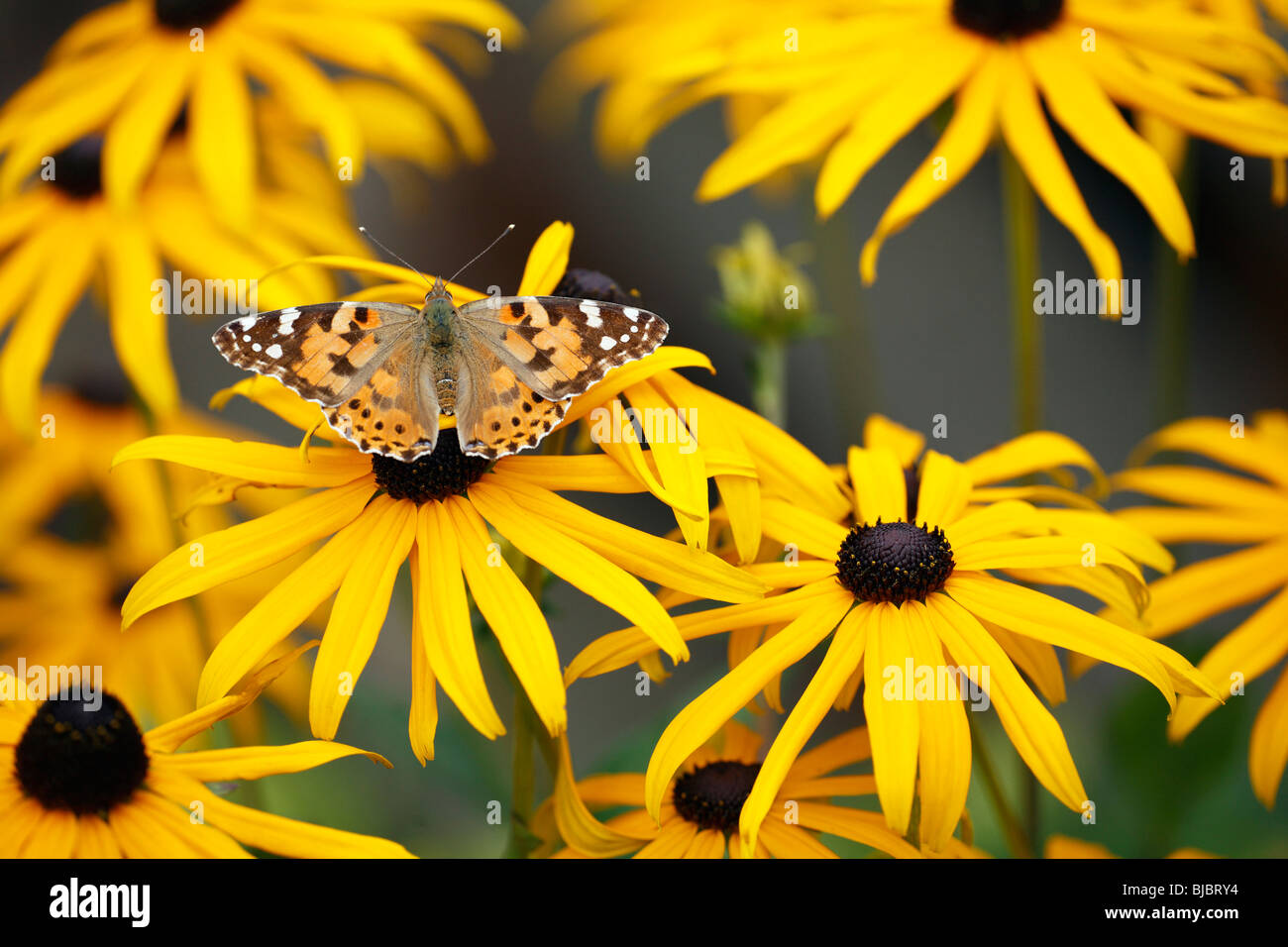 Painted Lady (Vanessa cardui), butterfly feeding on Black eyed Susan(Rudbeckia hirta), in garden, Germany - Stock Image