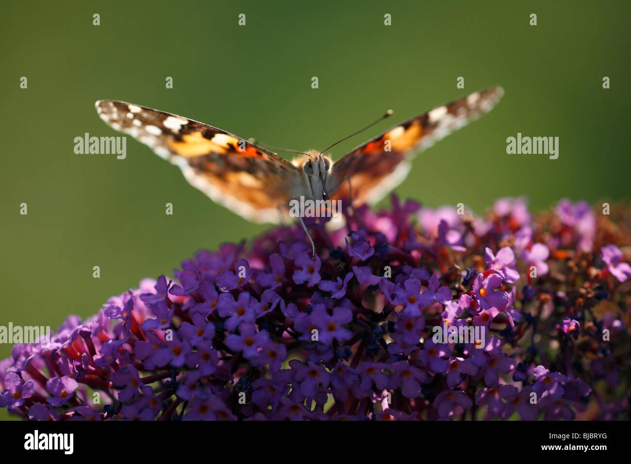 Painted Lady butterfly (Vanessa cardui), feeding on Buddleia blossom (Buddleia davidii), in garden, Germany - Stock Image