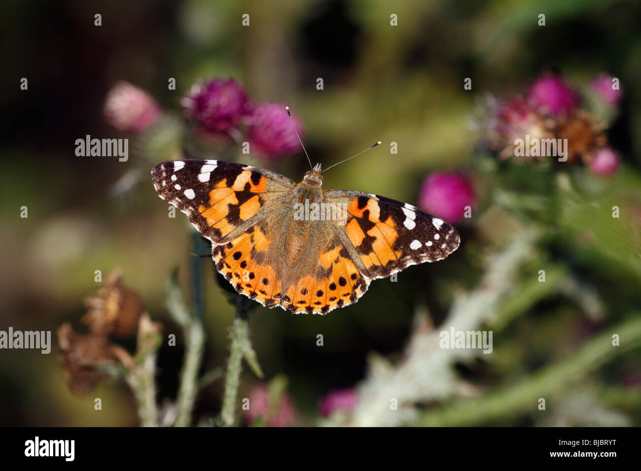 Painted Lady butterfly (Vanessa cardui), feeding on thistle flowers, Germany - Stock Image