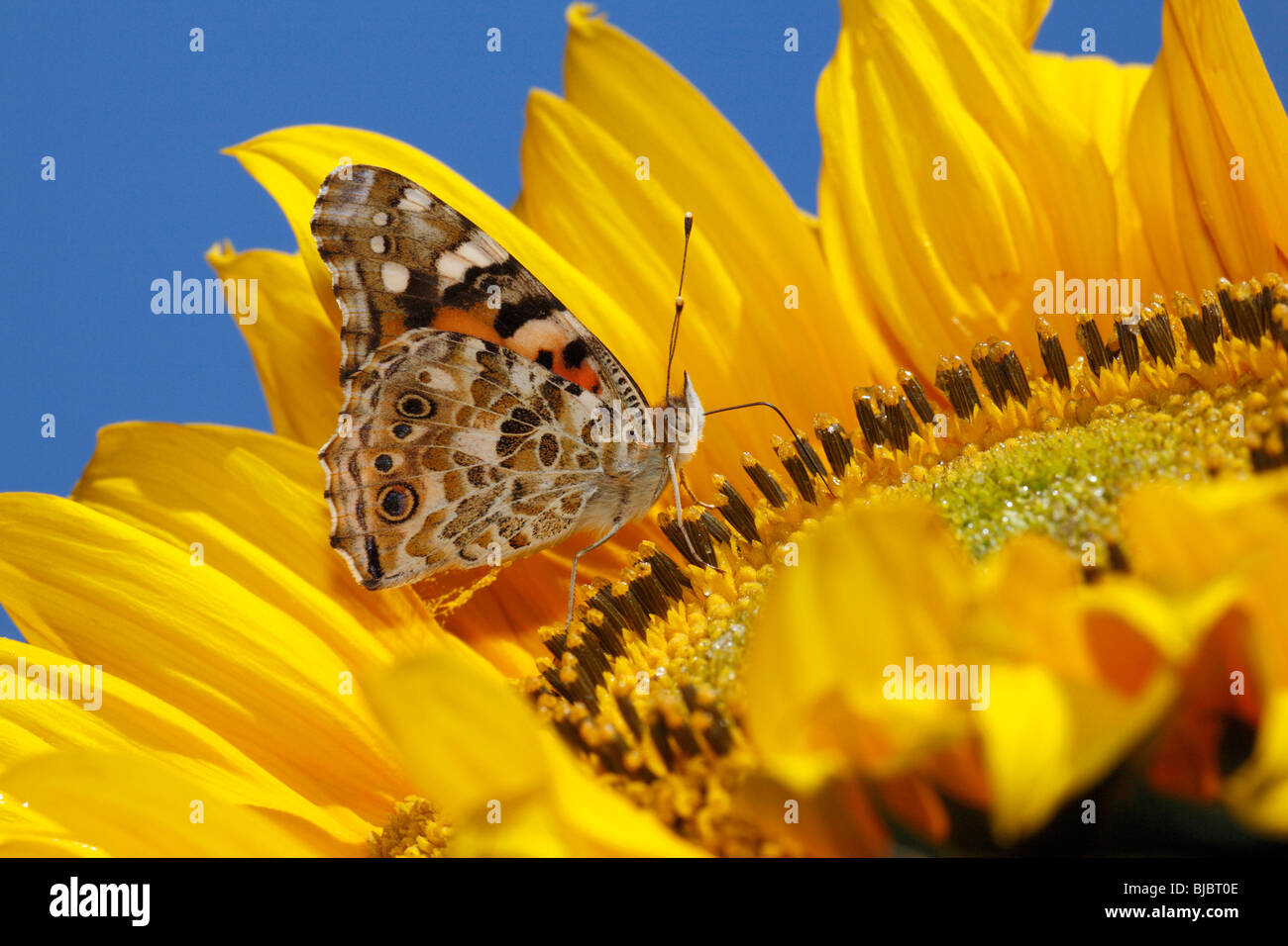 Painted Lady Butterfly (Vanessa cardui) - feeding on nectar from sunflower - Stock Image