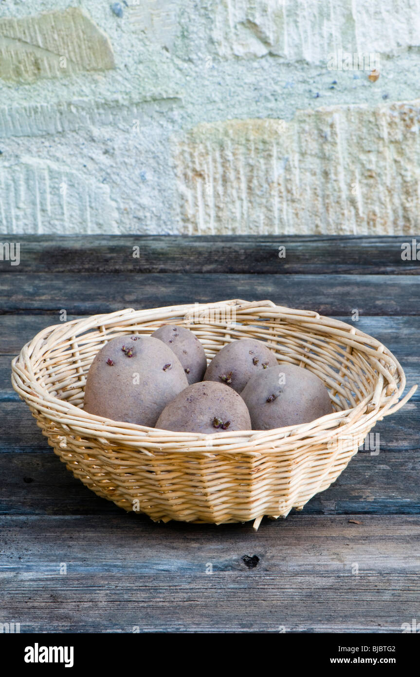 Red Duke of York seed potato tubers, a red skinned heritage first early crop potato in a basket - Stock Image