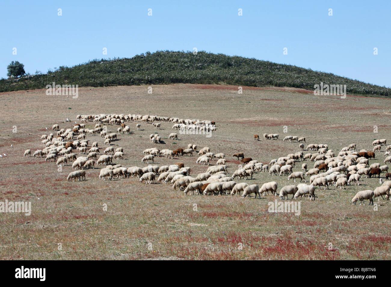 Merino Sheep, (Ovis aries), flock grazing in national park Herdade de Sao Marcos great bustard reserve, Alentejo, - Stock Image