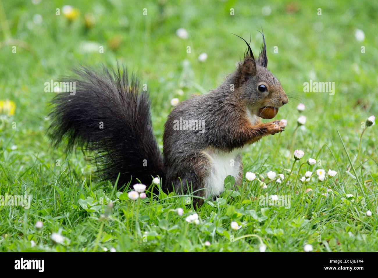 European Red Squirrel (Sciurus vulgaris), sitting on garden lawn, eating a hazelnut - Stock Image