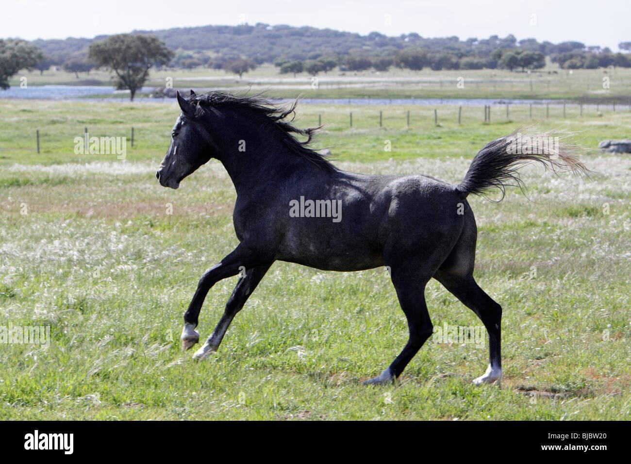 Arabic Horse - stallion prancing across pasture, Alentejo, Portugal - Stock Image