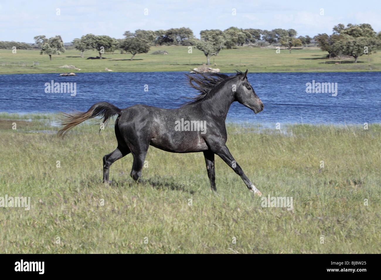 Arabic Horse, stallion trotting across meadow, region of Alentejo, Portugal - Stock Image