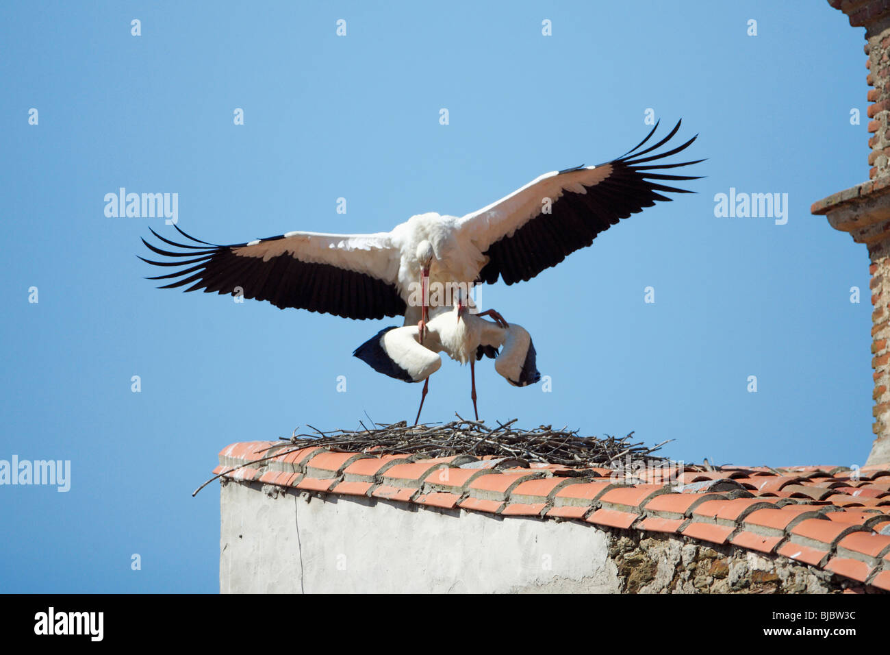 White Stork (Ciconia ciconia), pair mating on building roof, Extremadura, Spain Stock Photo
