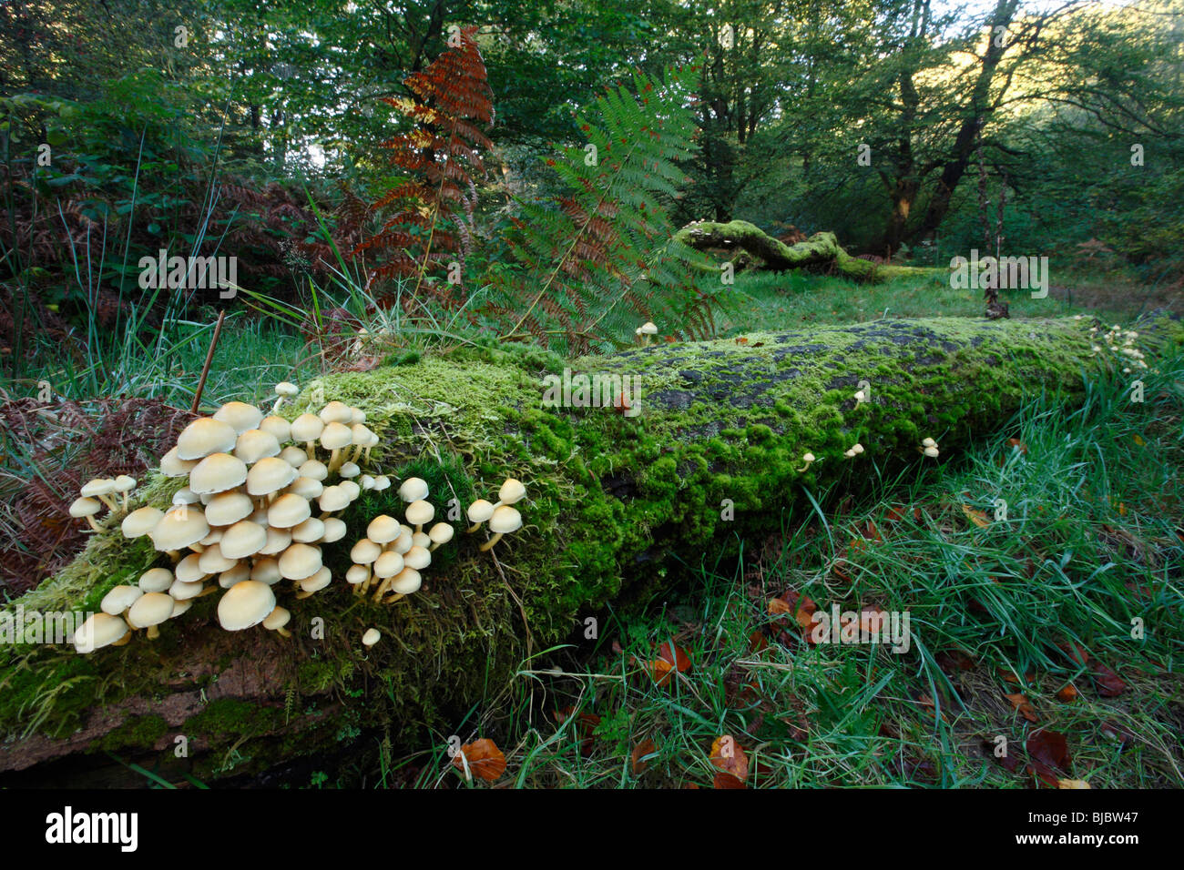 Sulphur Tuft Fungi (Hypholoma fasciculare), growing on decaying tree stems in forest, Germany - Stock Image