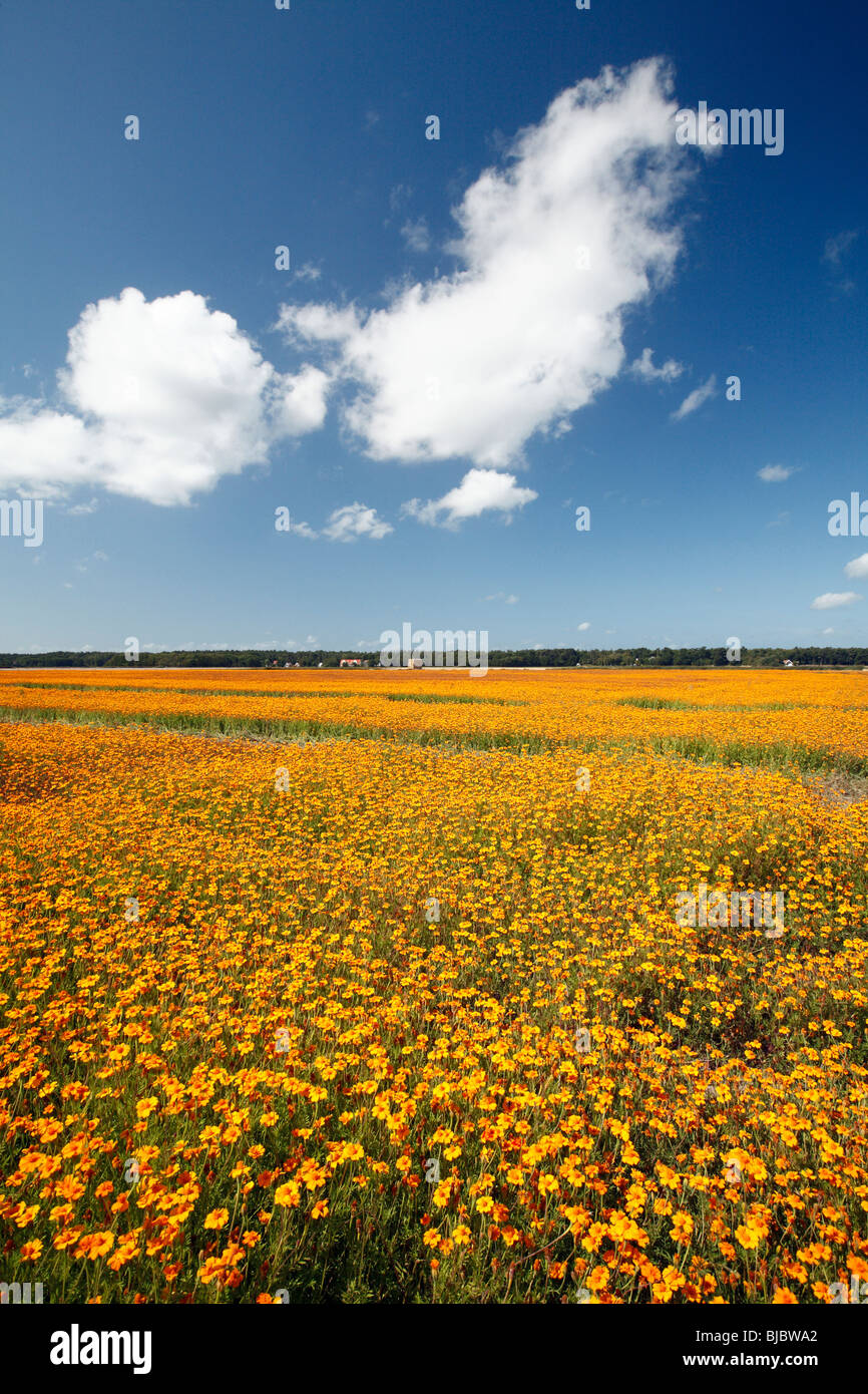 Calendula / Pot Marigold (Calendula officianalis), crop in flower, Texel Island, Holland Stock Photo