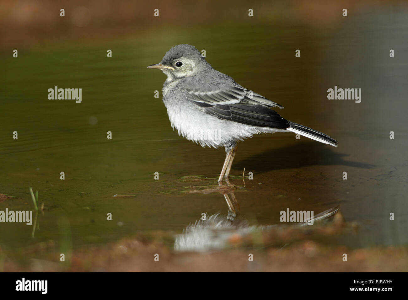 Pied Wagtail (Motacilla alba), fledgling bathing in puddle - Stock Image