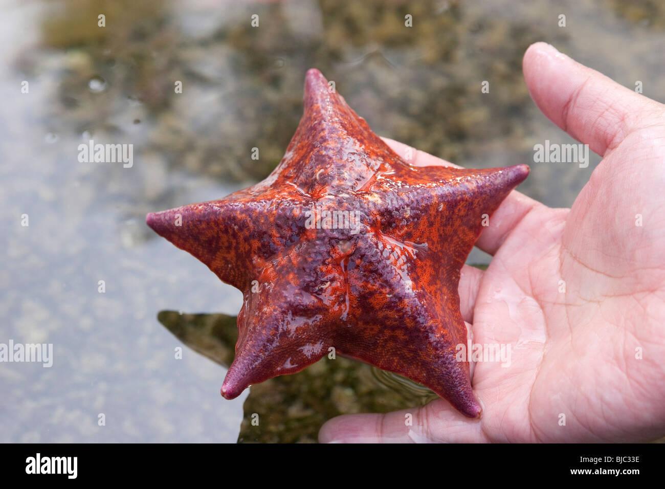 Bat Star Stock Photos & Bat Star Stock Images - Alamy