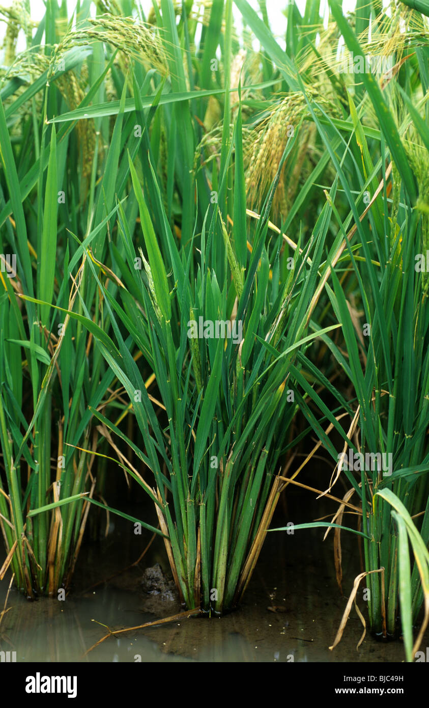 Ragged stunt virus severely infected paddy rice plants in ear, Philippines - Stock Image