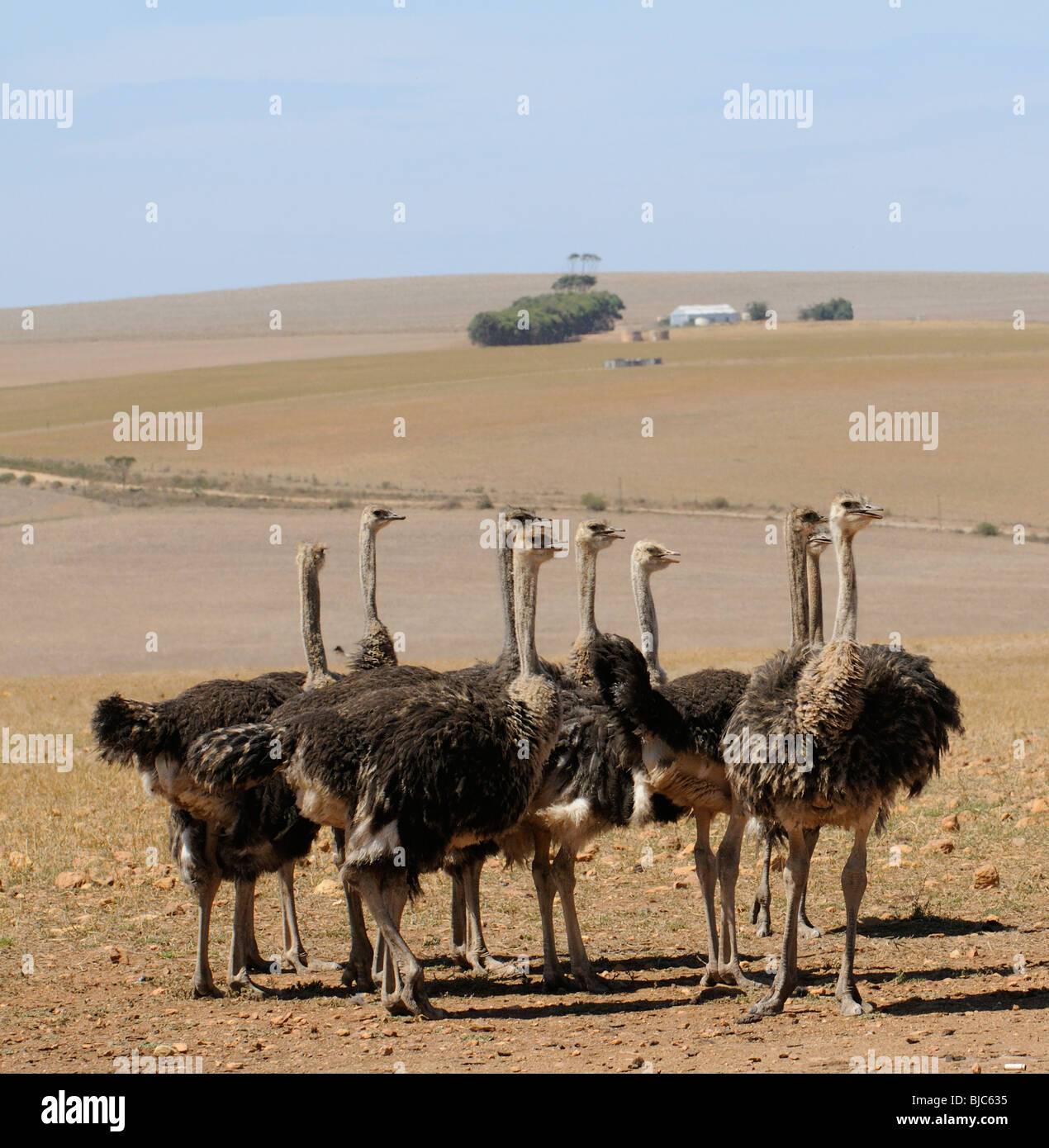 Ostrich farm in the western Cape South Africa Ostriches feed on fields that  earlier in the