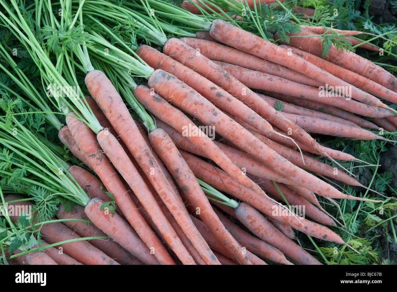 Carrots 'Daucus carota' harvest. - Stock Image