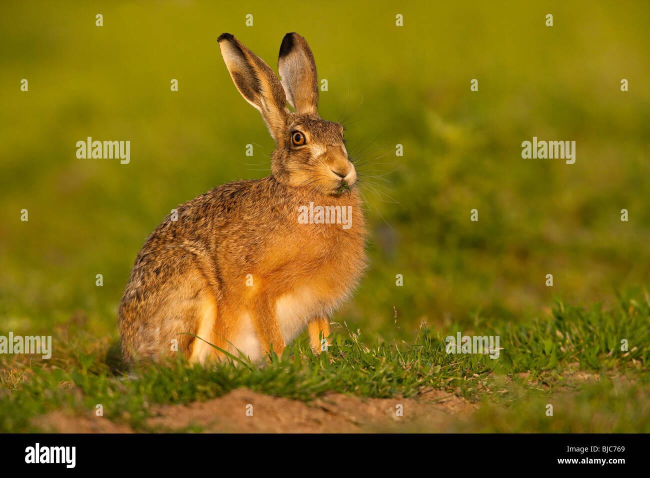 Brown Hare ( Lepus europaeus ) On British Farmland - Stock Image